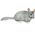 Image Chinchilla