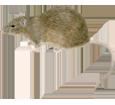 Image Rat gris