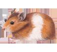 Image Hamster doré
